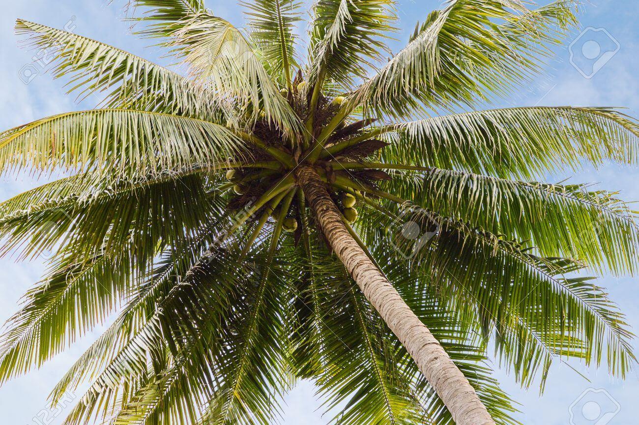 Coco – Cocos nucifera