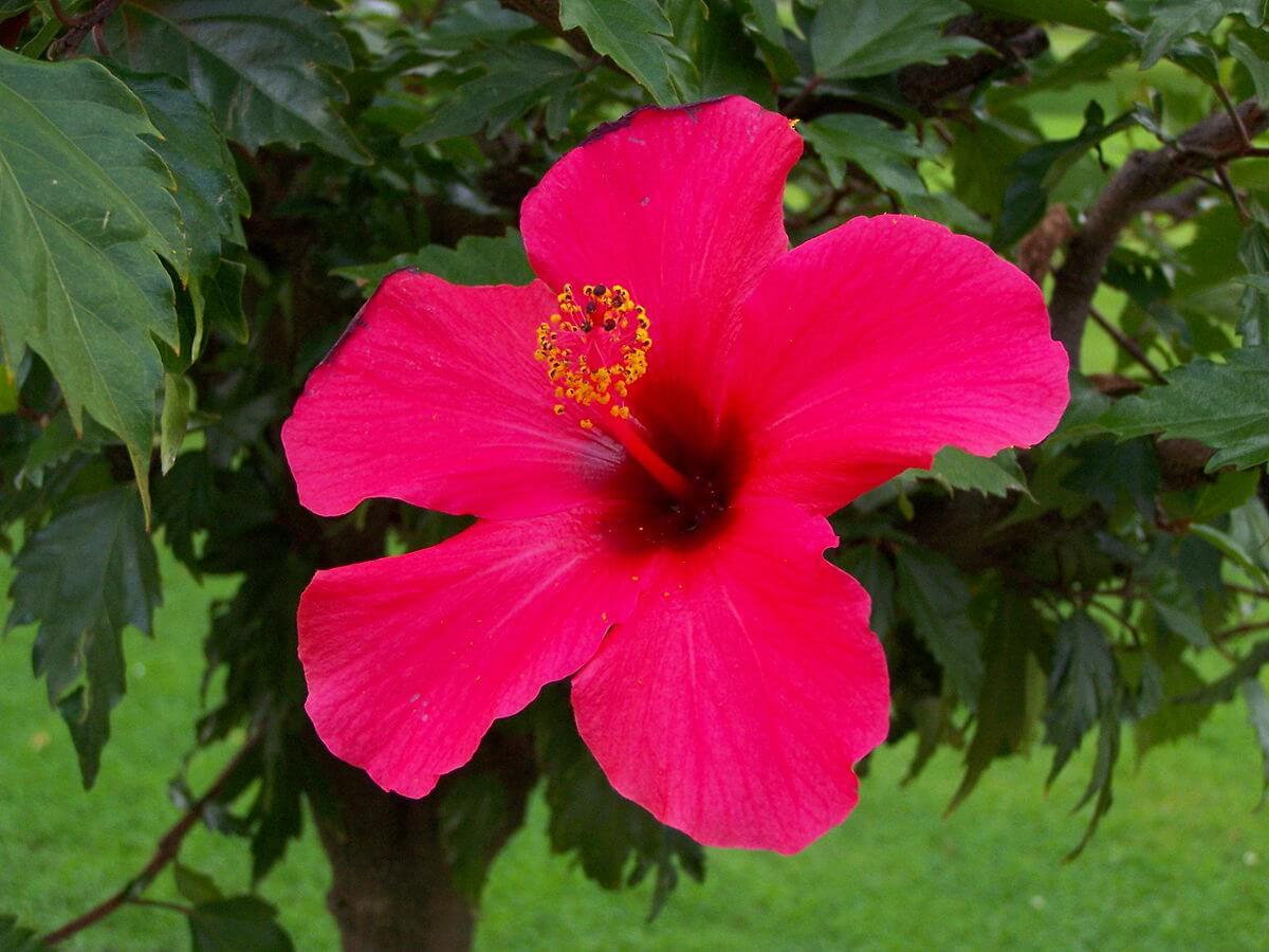 Hibisco – Hibiscus rosa-sinensis