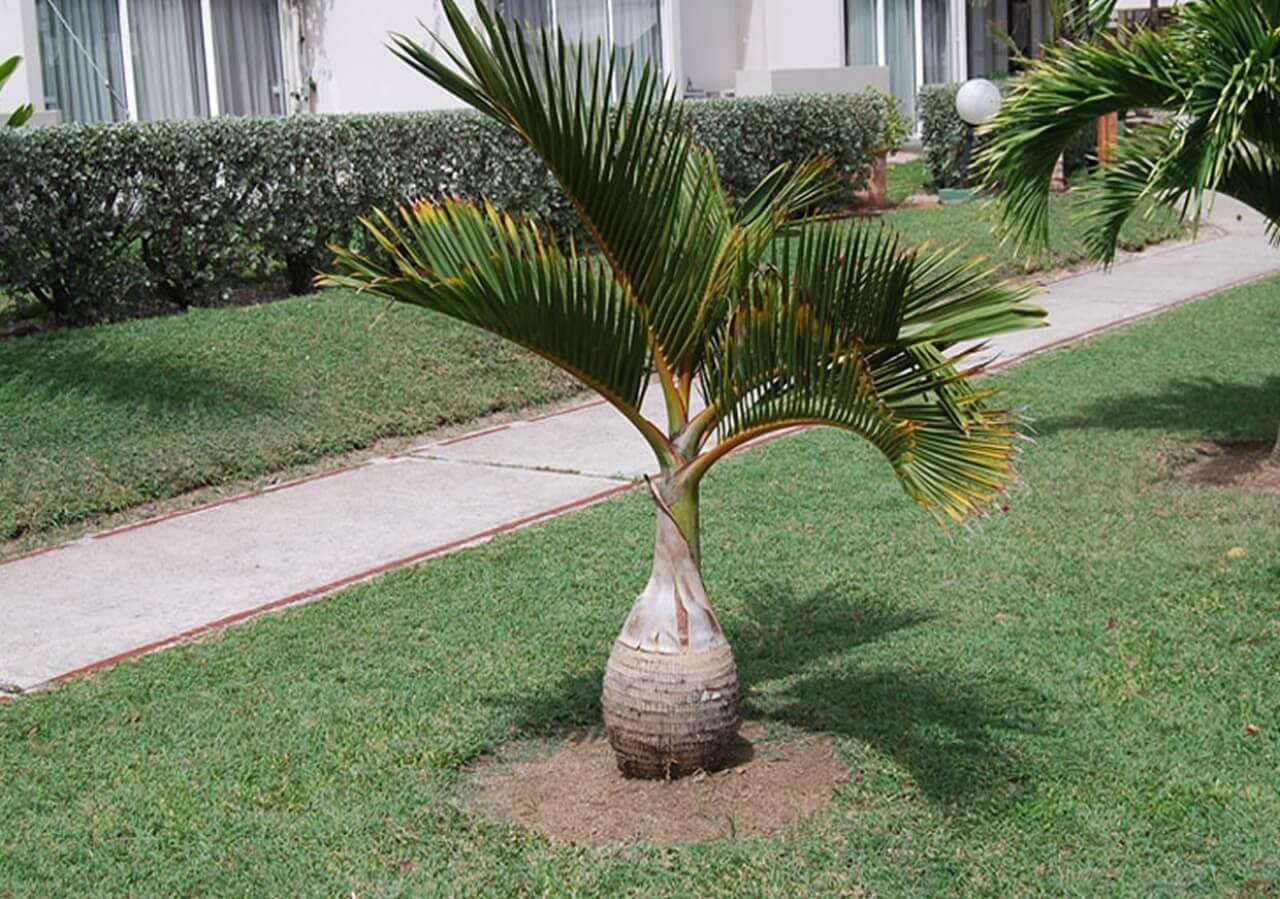 Palmeira-garrafa – Hyophorbe lagenicaulis