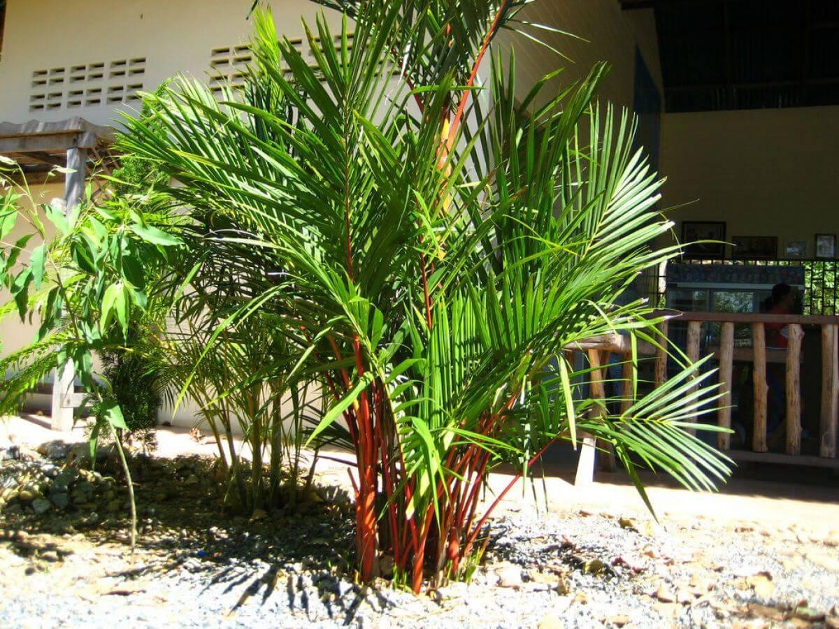 Palmeira-laca – Cyrtostachys renda