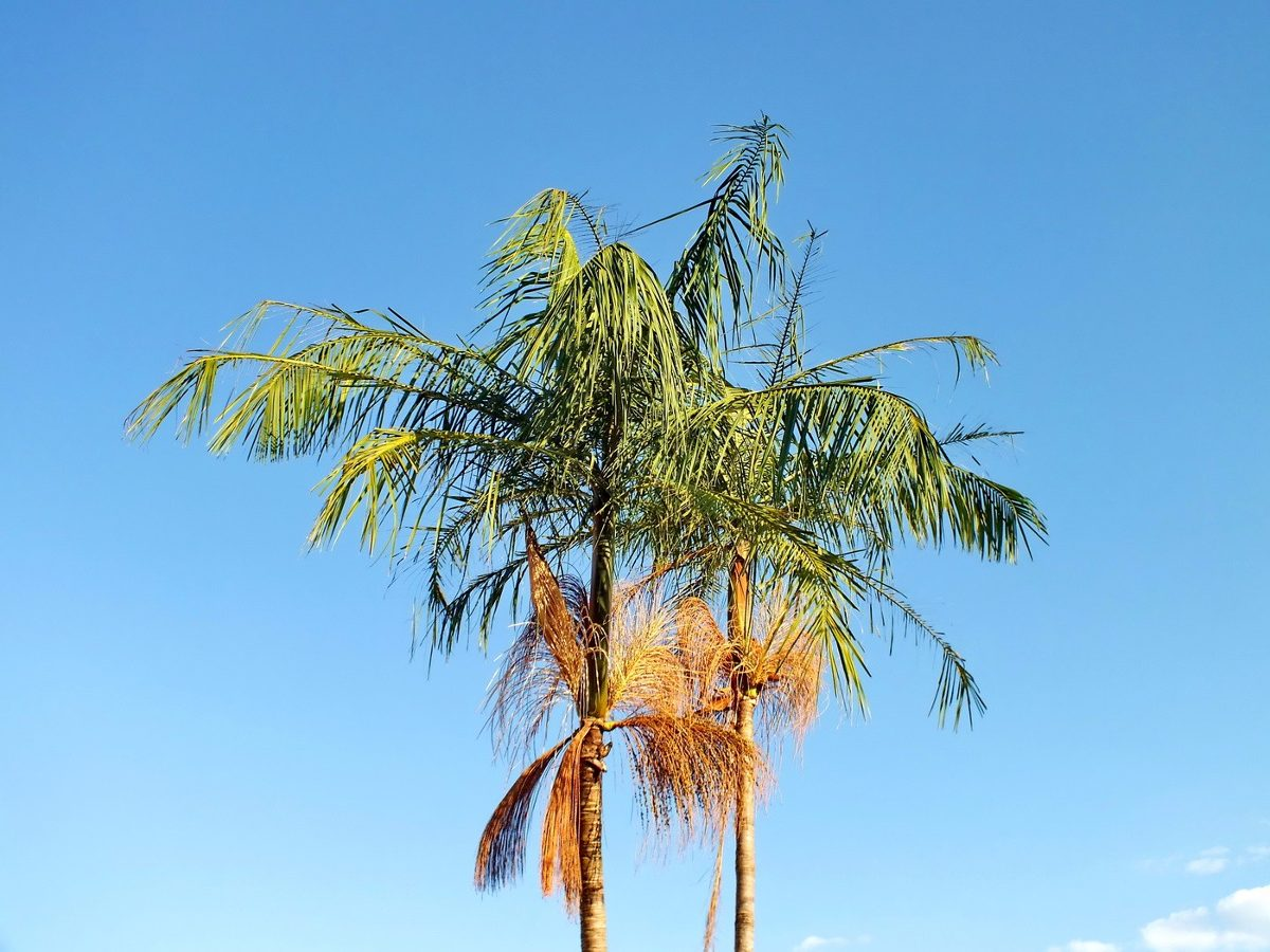 Palmito-jussara – Euterpe edulis