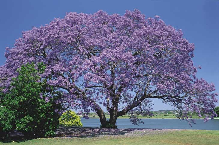 Jacarandá-mimoso – Jacaranda mimosaefolia